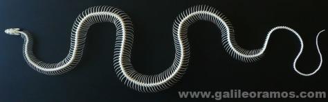 Ptyas korros 2014 nº1 - 01 Skeleton